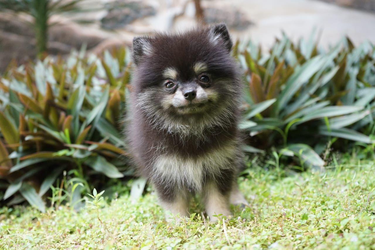 Pin Di Anjing Pomeranian