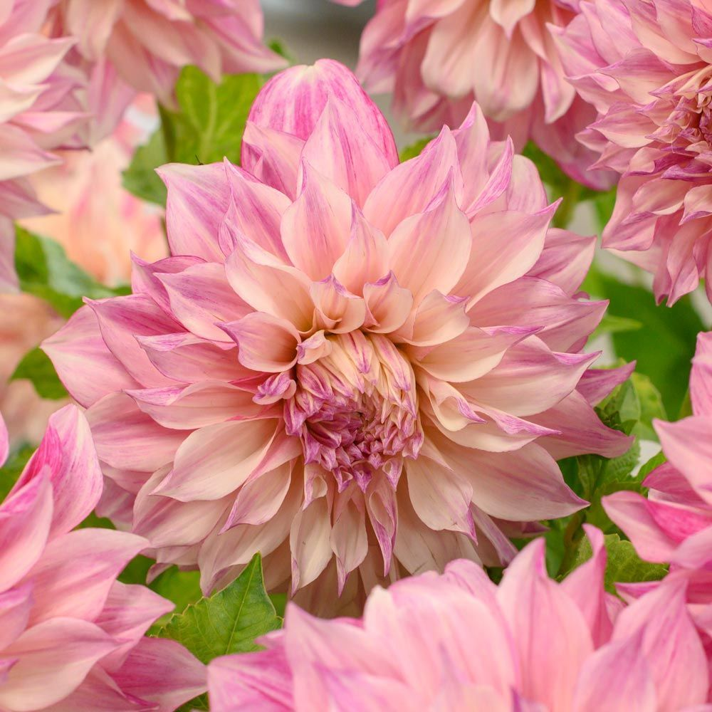 Dahlia Café Au Lait Royal Dahlia Cafe Au Lait Royal