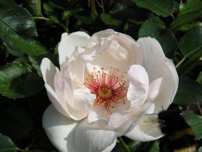 Jacqueline du Pré. 90 - 120 cm Halvfyldte store flade blomster i mælkehvid, med meget smukke rødbrune støvdragere. Rosen bliver ca. 1,25 meter høj og bred. Rosen er remonterende, så den blomstrer henover hele sommeren og fuldt hårdfør.