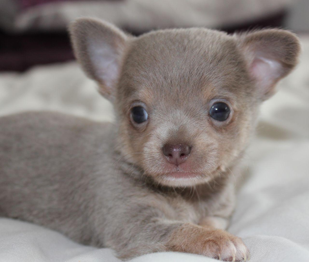 Tiny Lilac Male Kc Registered Chihuahua 520cecae2e35c Jpg 1280