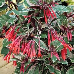 Firecracker Fuchsia