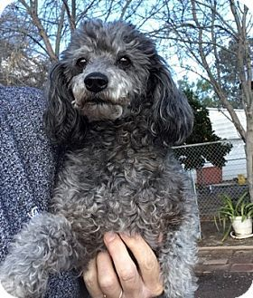 Temecula Ca Toy Poodle Meet Silver A Dog For Adoption Http