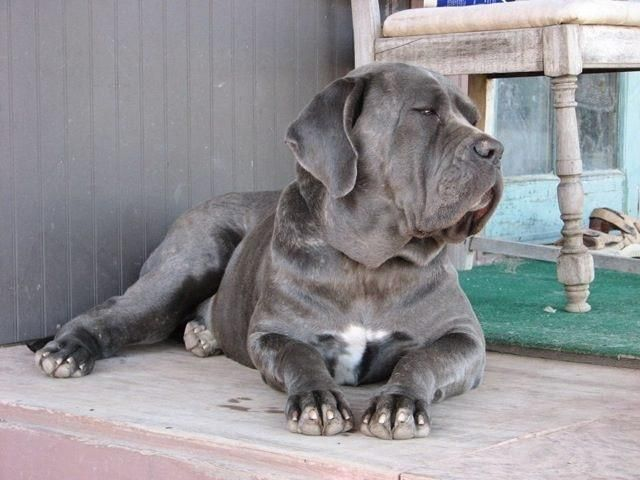 Adopt Lola On Cane Corso Mastiff Puppies Cute Dogs