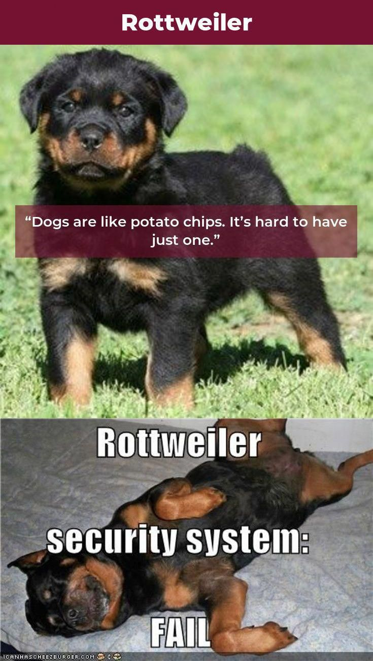 Some Of The Things I Respect About The Loving Rottweiler Pups