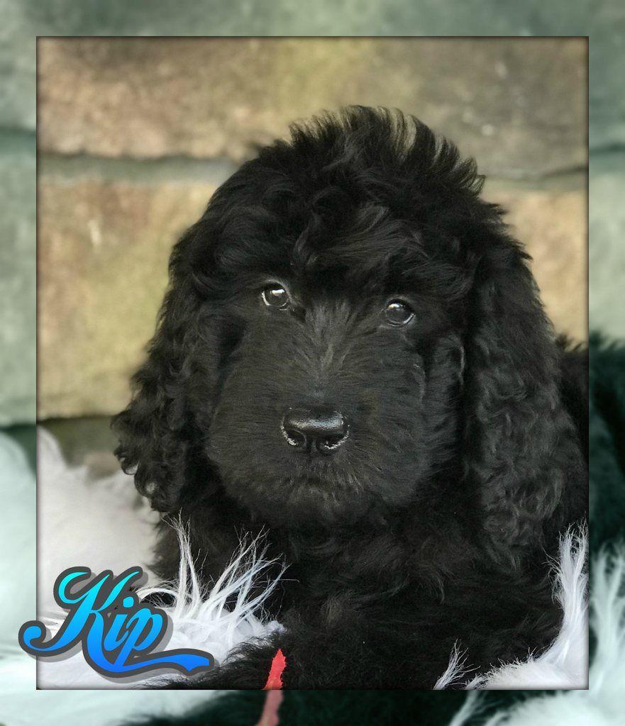 Kip Male Newfypoo Puppy (Full Price 900.00) Deposit