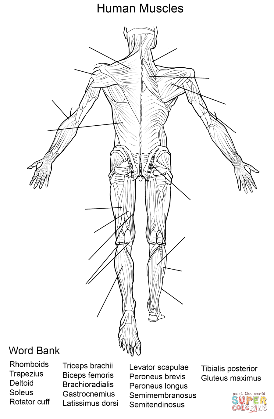 worksheet Joints Worksheet human muscles back view worksheet coloring page from anatomy category select 27278 printable crafts
