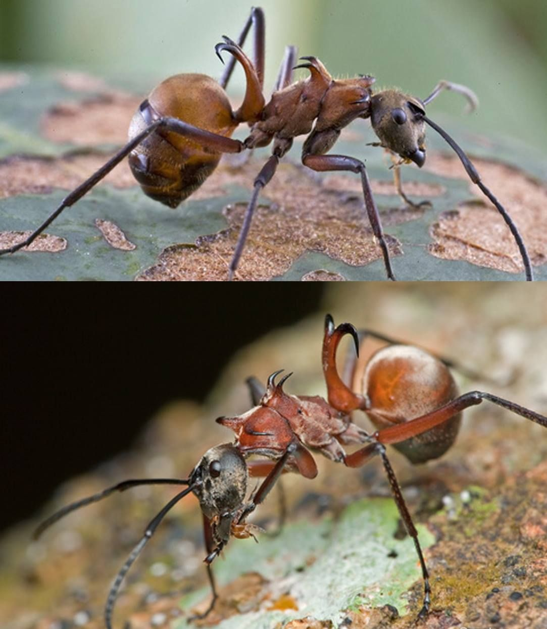 Fish Hook Ant Polyrhachis Bihamata Native To Cambodia This Species Of Ant Is Noted For The Three Pairs Of Curved Spines From Ants Insects Lovely Creatures