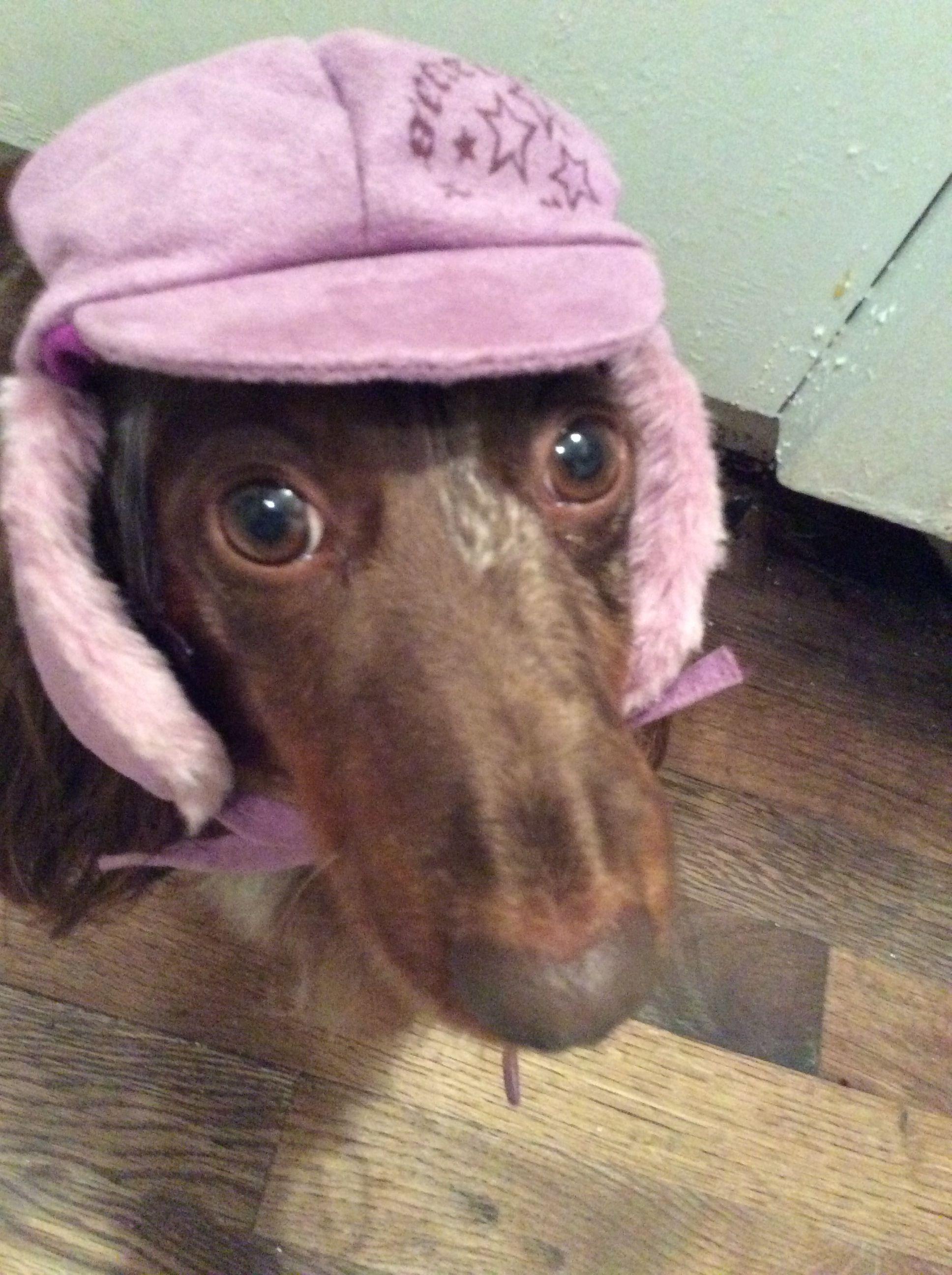Beanie dachshund walk