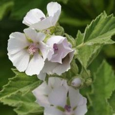 100 Organic Marshmallow Althaea officinalis Seeds Substitute for Slippery Elm