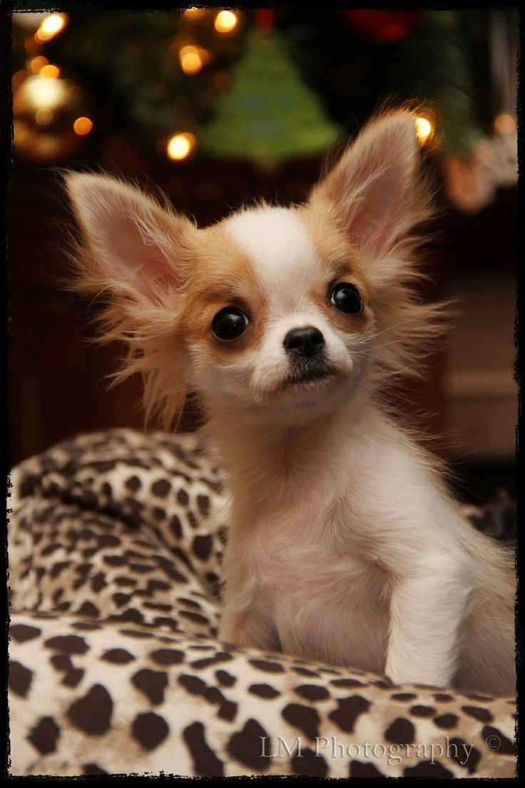 1000 images about chihuahuas on pinterest cartoon devil and blue - Long Haired Chihuahua