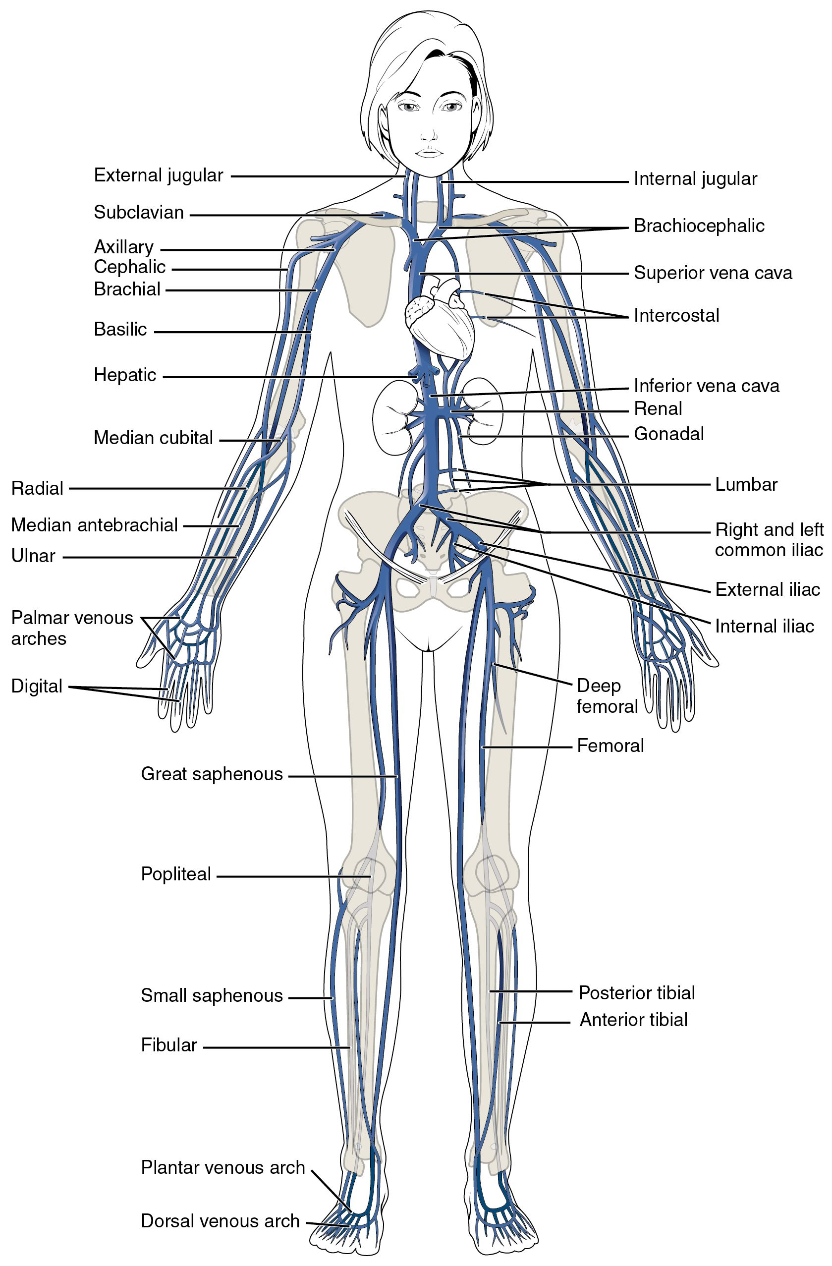 hight resolution of this diagram shows the major veins in the human body