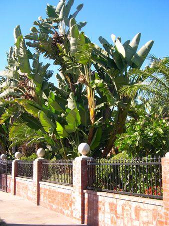 bird of paradise tree giant bird of paradise strelitzia nicolai palm tree ms t. Black Bedroom Furniture Sets. Home Design Ideas