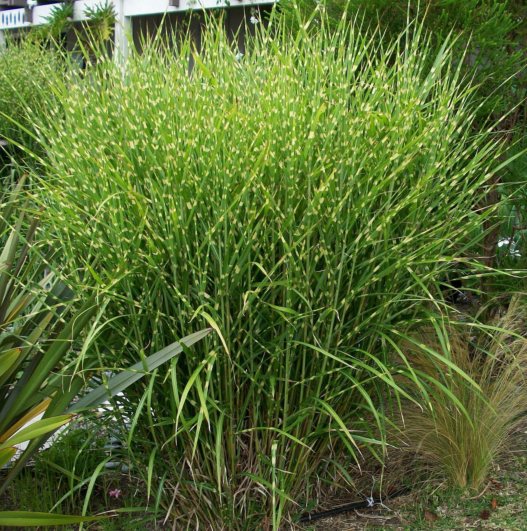 The best ornamental grasses to grow in your garden for Landscaping with zebra grass