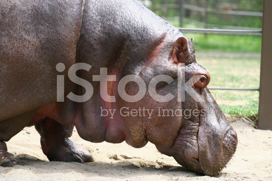 A side view of a hypo sniffing around Stock photos