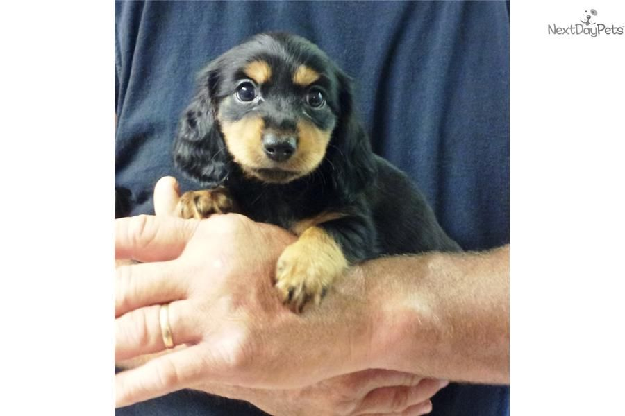 Meet Male A Cute Dachshund Mini Puppy For Sale For 450 Akc Mini