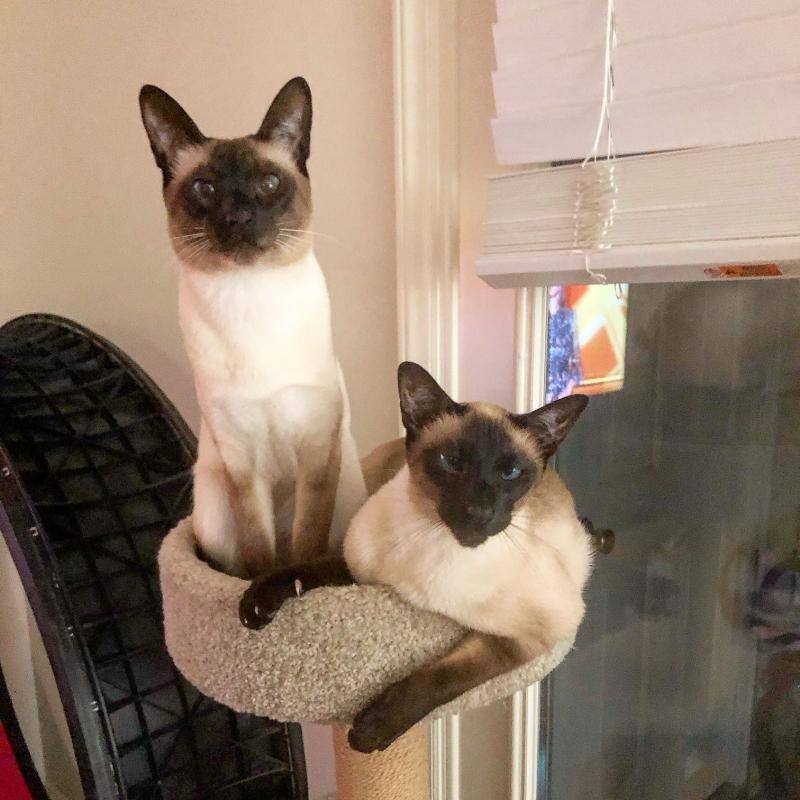 Carolina Blues Cattery Home In 2020 Cattery Siamese Kittens Kitten For Sale