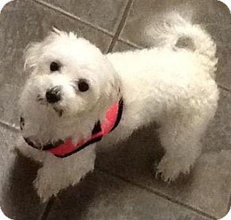 Berkeley Heights Nj Maltese Meet Peaches A Dog For Adoption Dog Adoption Pet Adoption Pets