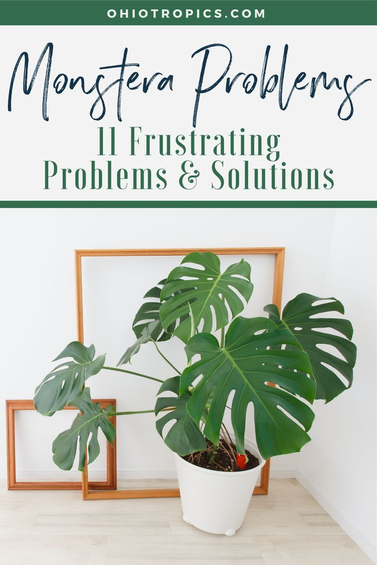 Monstera Problems: 11 Frustrating Problems & Solutions - There are many burning questions that people have asked me about growing Monstera deliciosa, so I'm here to help! I've compiled answers to 11 common, urgent questions which will save your plant from dying and help your Monstera thrive!  Topics range from what to do with aerial roots, to problems with growth, and various defects with leaves. Check out this article and you might find the answer to one of your questions!