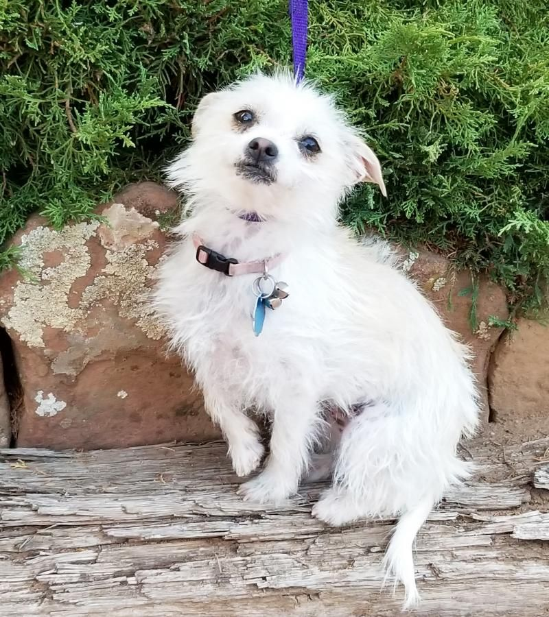 Adopt Charming Ms Courtney On Puppies Puppies Chihuahua