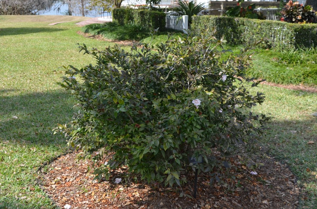 Camellia X Spring Mist Camellia Plant Shape 4 5 Feet High Scented Lutchensis Blush Pink Semi Double Blooms Shade Plants Mists Landscape