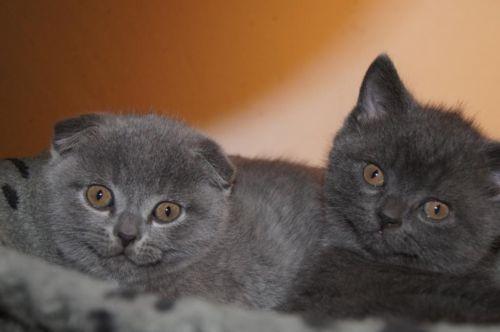 Bkh Kitten In Blau In Nordrhein Westfalen Bocholt Britisch Kurzhaar Katzenbabys Kaufen Ebay Kleinanzeigen Furbabies Cats Animals
