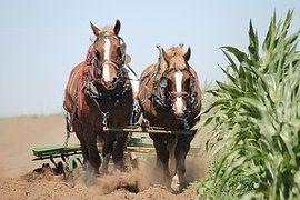 Belgialainen Hevoset, Johdinsarjan