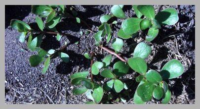 Purslane -- amazing plant to eat!  Plus a Thoreau quote thrown in.