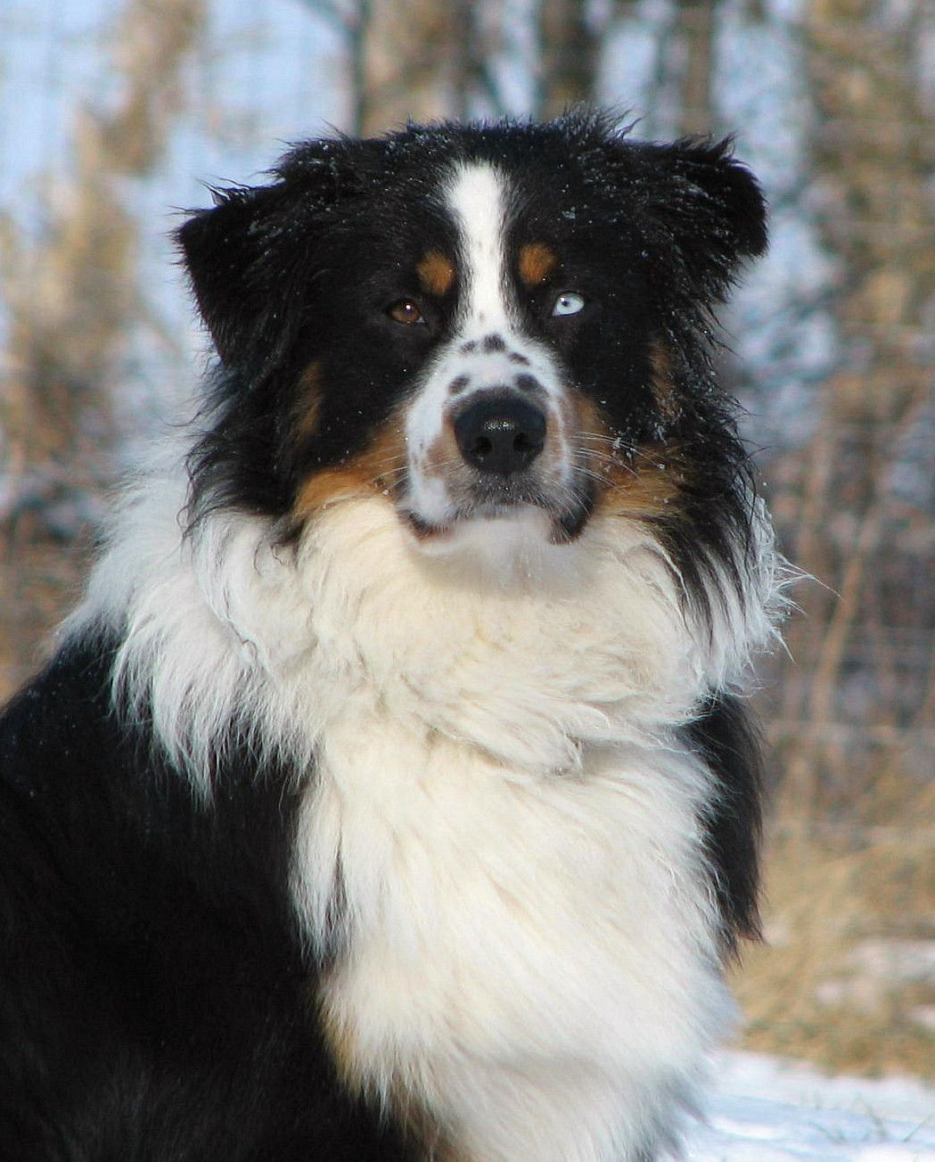 I want a dog with two eye colors.maybe a Bernese mountain dog