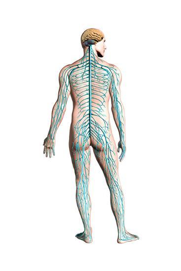 Diagram Of Human Nervous System Posterior View Prints Allposters Com In 2021 Human Nervous System Clinic Design Nervous System
