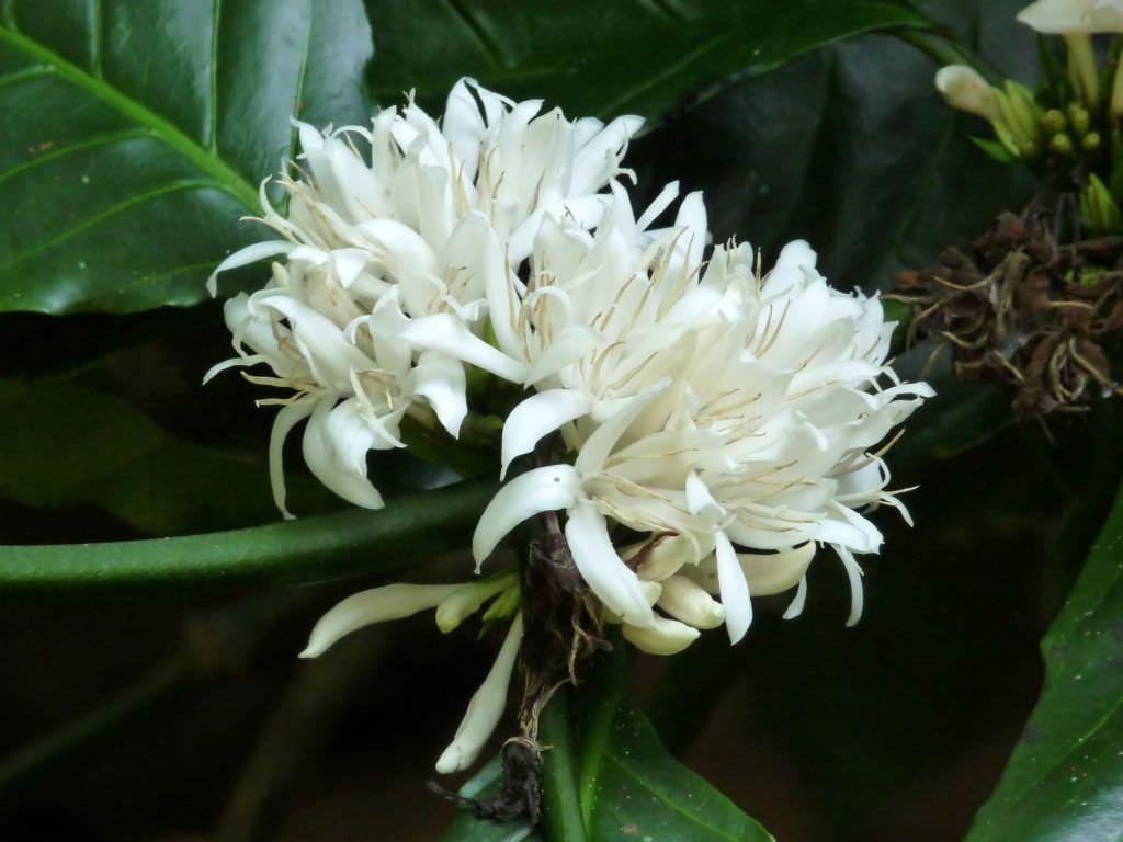 robusta flower