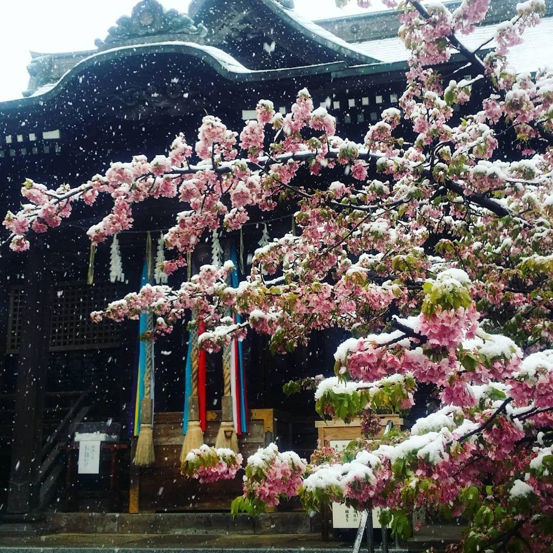 Fiori Japan.Neve Sui Fiori Di Ciliegio Cherryblossom Snow Spring Japan