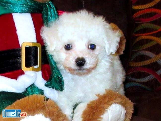 """8 Week Old Male MaltiPoo Puppy Available in Bay Area """"Zeus"""