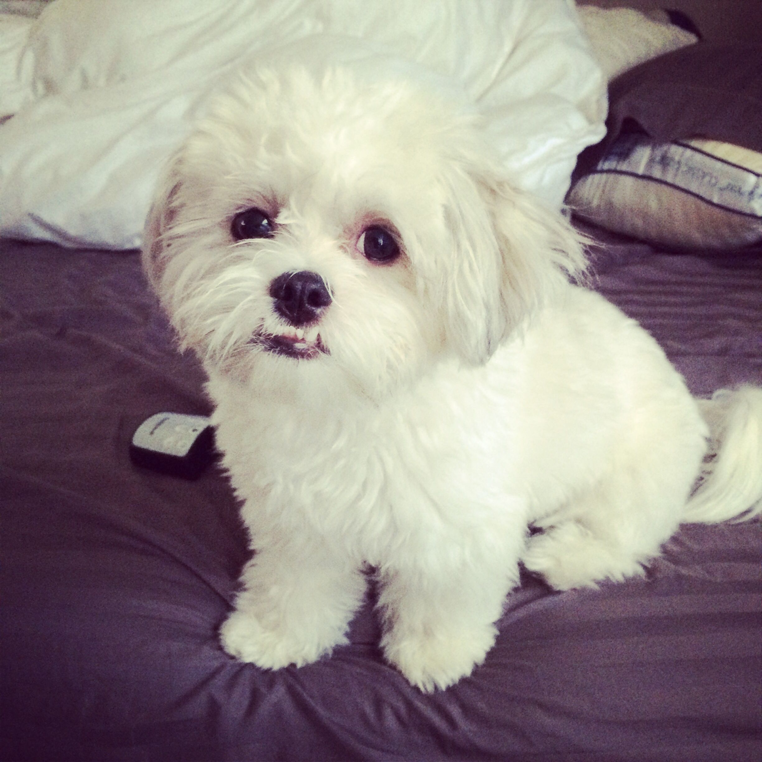 My Love Bug Maltese Shih Tzu Full Grown Maltese Shih Tzu