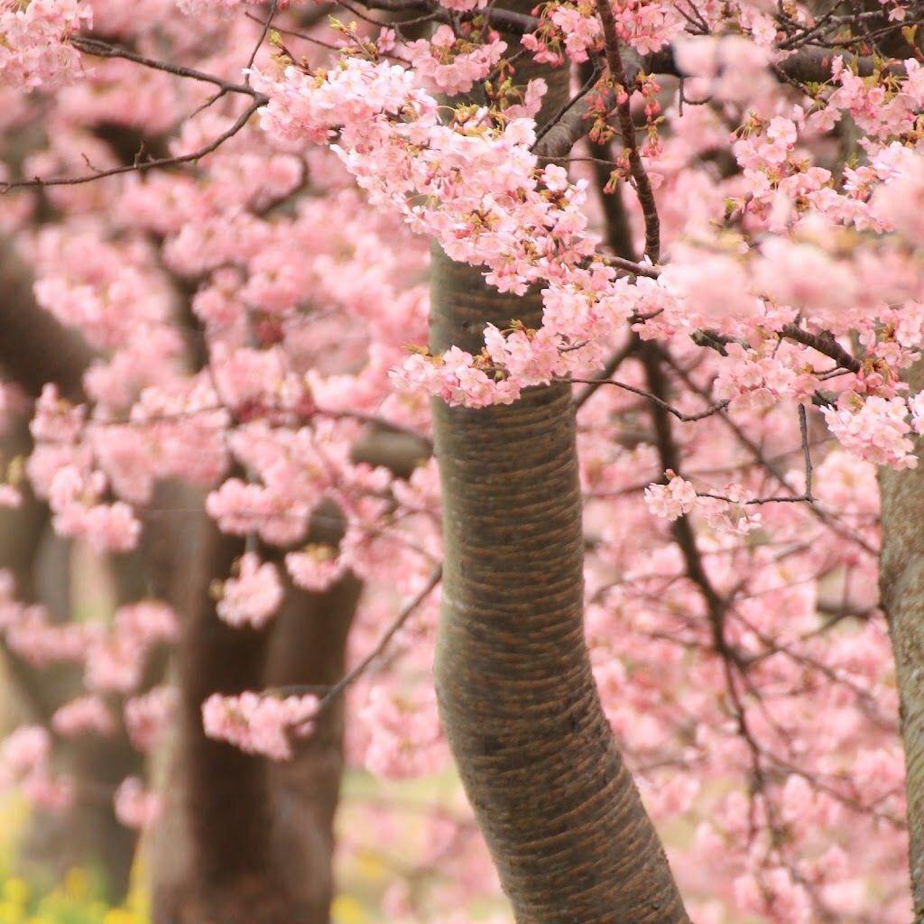 Pin By Tasnia Ullah On Cute Stuff Blossom Trees Sakura Cherry Blossom Cherry Tree