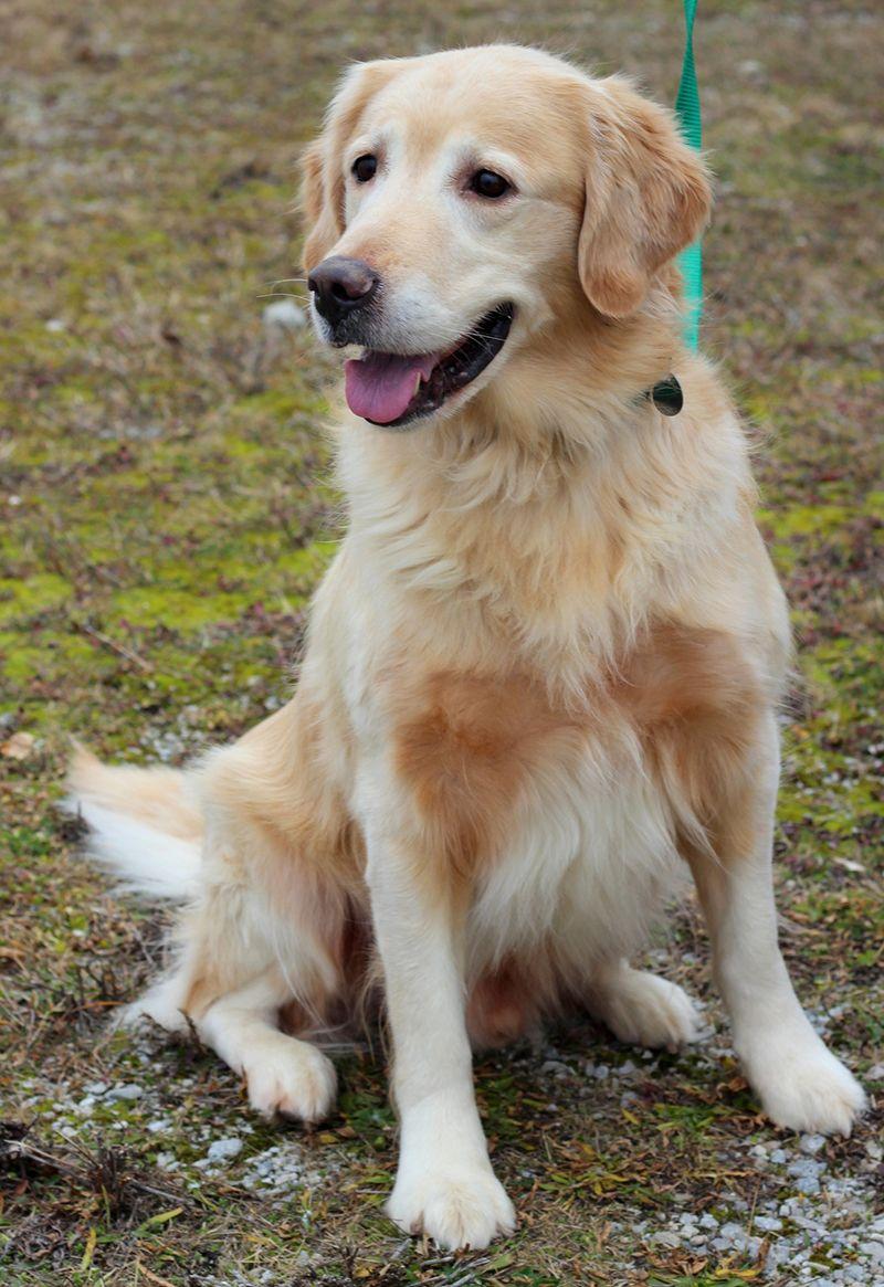 Golden Retriever Rescue Resource Toledo Dog Adoptions Page 10 Golden Retriever Golden Retriever Rescue Retriever