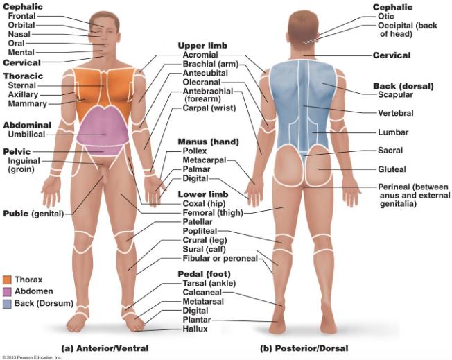 Pin By Rafael Shakur On Anatomical Terminology Pinterest