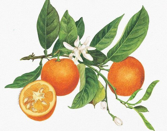 Orange Blossom Water Recipe - this healthy table