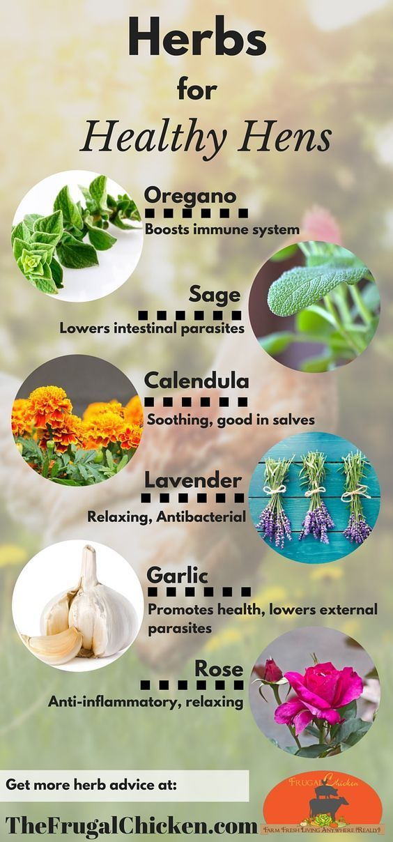7 Herbs For Chickens Chicken Keeping Pinterest Raising