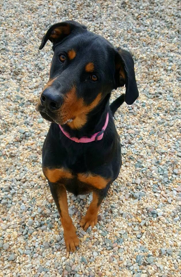 Labrottie dog for Adoption in Richmond, VA. ADN459287 on
