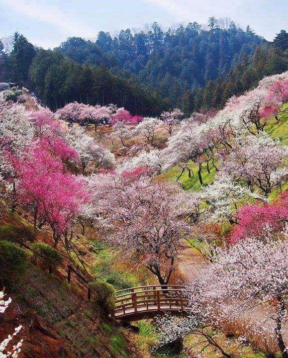 Cherry Tress in Japan