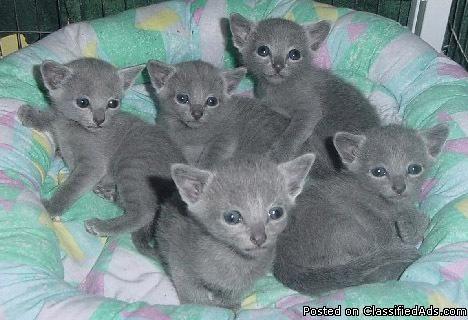 Russian Blue Kittens Price 400 For Sale In Seattle Washington Best Pets Online Russian Blue Kitten Blue Cats Russian Blue Cat