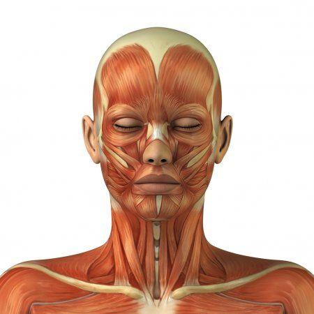 Anatomy of female head muscular system