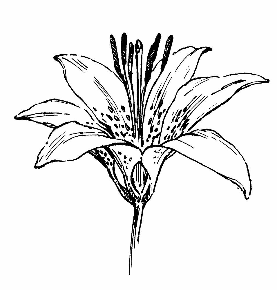 Lily flower drawing hd images 3 hd wallpapers amagico lily flower drawing hd images 3 hd wallpapers amagico clipart best izmirmasajfo