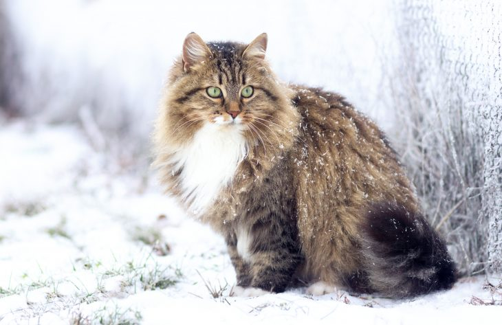 Long Haired Pet Of Siberian Cat Hypoallergenic Kitten Of Livestock Stock Photo 235595007 Alamy Siberian Cat Cat With Blue Eyes Kittens