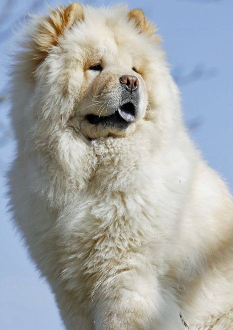 The Chow Chow S Disposition Is Quite Unique From Other Breeds