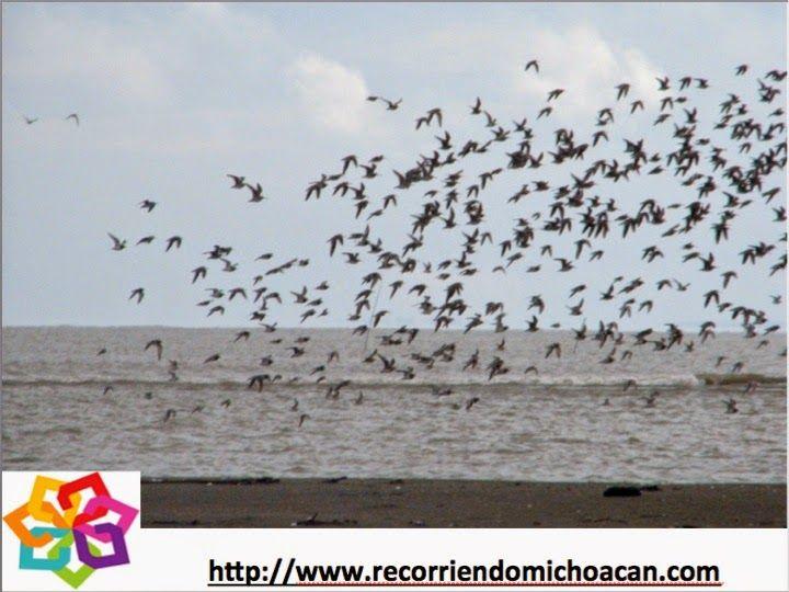 MICHOACÁN MÁGICO te dice cual es la fauna que puedes localizar en la playa Maruata, aquí encontraras una interesante mezcla de aves marinas y aves de la laguna como gaviotas, flamencos, garzas blancas, cormoranes, zopilotes, ibis y pelicanos. HOTEL VALMEN http://www.valmenhotel.com.mx/