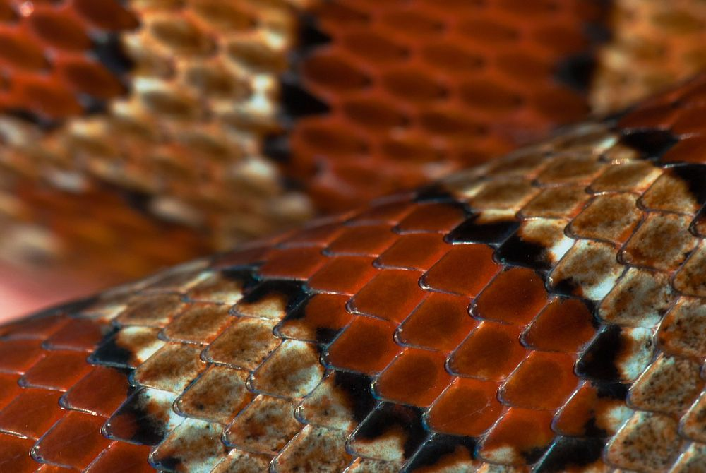 Corn snake scales by clifford pugliese on 500px corn