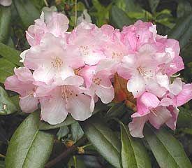 Dwarf Evergreen Flowering Shrubs | attributes dwarf or miniature broadleaf evergreen evergreen flowering ...