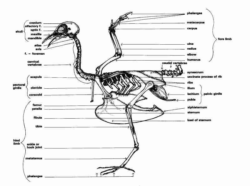Bird Skeleton Diagram by Nuno | ART: crows and ravens | Pinterest