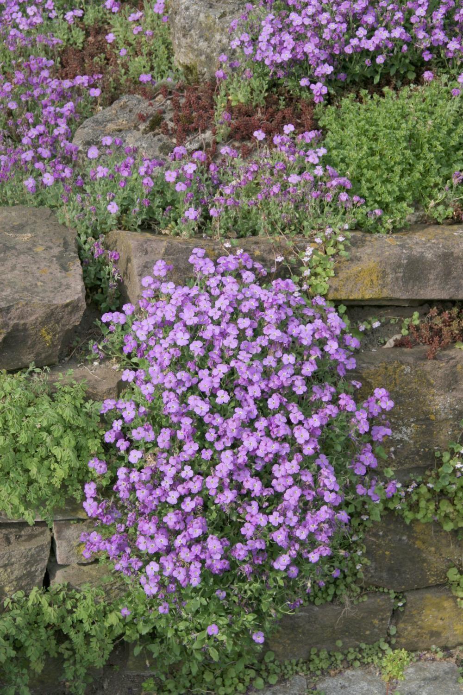 Natursteinmauern Farbenfroh Bepflanzen Natursteinmauer Blaue Kissen Pflanzen